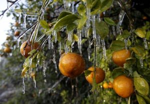 Citrus damaged in a freeze event.