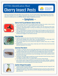 Cherry Insect Pests Identification Sheet