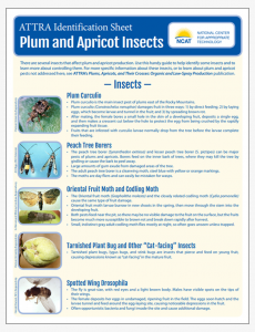 Plum and Apricot Insect Pests Identification Sheet
