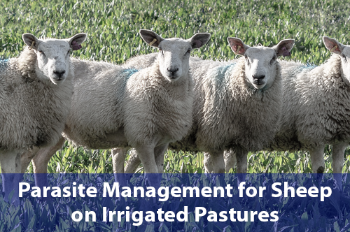 parasite-management-for-sheep-on-irrigated-pastures