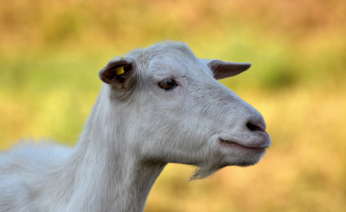 goat close up