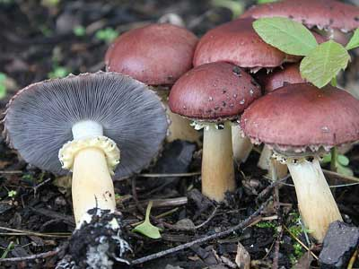 winecap mushrooms