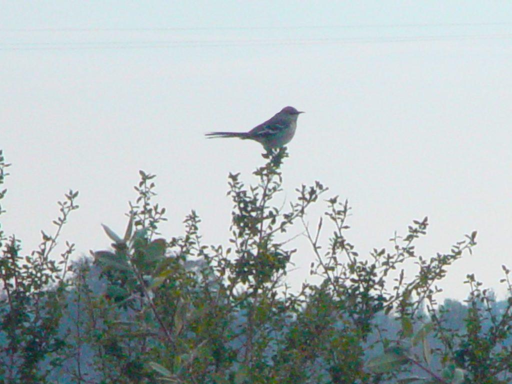 Bird resting on Hedgerow courtesy Rex Dufour NCAT