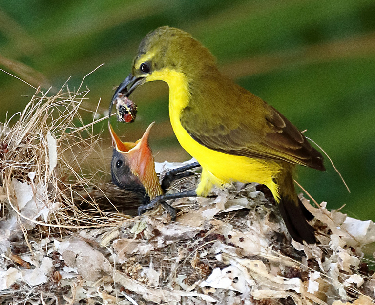 Feeding insects to a Chick