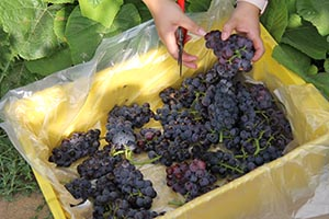 Hands sorting table grapes into shallow container