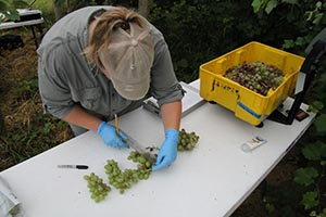 Woman measuring grapes on table
