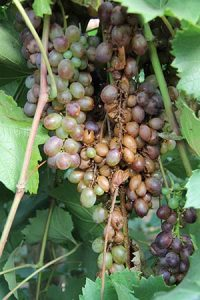 Cluster of grapes with rotting brown grapes in the center