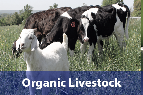 organic-livestock-livestock-pasture-attra-topics