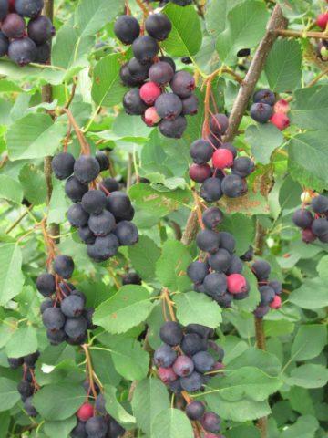 June Berries on branch