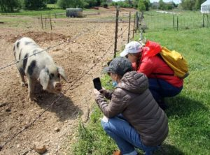 A sow at Appel Farms.