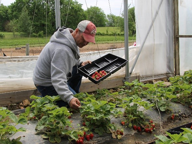 Picking Strawberries at Appel Farms