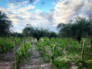 Olive trees intercropped with Cabernet Malbec grapevines