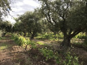 Olive trees intercropped with Cabernet Sauvignon grapevines